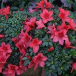 Azalea japonica - mezzo-sole - 36 - 18 - erica-skimmia-rododendri-kalmia-cornus-helleborus-mirtilli-azalee