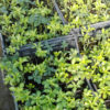 Pachisandra terminalis Green Carpet - ombra - 36 - 9 - astilbe-felci-geranium-in-purezza-per-avere-tappeti-compatti-e-uniformi