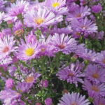 Aster domosus rosa - mezzo-sole - 36 - 15 - chrysanthemun-articum-coreopsis-echinacea-graminacee-persicaria