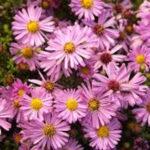 Aster domosus rosso - mezzo-sole - 36 - 15 - chrysanthemun-articum-coreopsis-echinacea-graminacee-persicaria