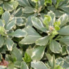Pachisandra terminalis Variegata - ombra - 36 - 9 - astilbe-felci-geranium