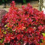 Berberis thum. Atropurpurea - sole - 36 - 15 - arbusti-da-siepe-di-media-grandezza-altre-varietao-di-berberis-arbusti-da-fiore
