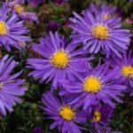 Aster domosus viola - mezzo-sole - 36 - 15 - chrysanthemun-articum-coreopsis-echinacea-graminacee-persicaria