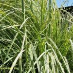 Cortaderia selloana Variegata - pieno-sole - 36 - 18 - coreopsis-echinacee-verbena-salvia-agapanthusrudbeckia-stachis