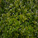 Buxus sempervirens Golden Triump - sole - 36 - 18 - arbusti-da-siepe-di-media-grandezza-altre-varietao-di-berberis-arbusti-da-fiore