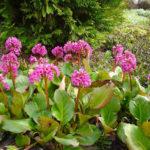 Bergenia cordifolia - mezzo-sole - 36 - 9 - caltha-geranium-hosta-felci-iris-foet-lysimachia-polygonum-primula