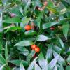 Ruscs racemosus - ombra - 36 - 18 - epimedium-erythronium-hepatica-hosta-e-con-piante-da-sottobosco-ed-altre-felci-hellebori-aucuba