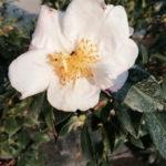 Camelia sasanqua Hino de Gumo - mezzo-sole - 36 - 28 - erica-skimmia-rododendri-kalmia-cornus-helleborus-mirtilli-azalee