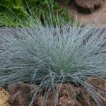 Festuca glauca - pieno-sole - 36 - 9 - dianthusechinacea-salvia-rubeckia-crocosmia-coreopsis