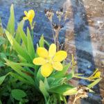 Belamcanda chinensis Hello Yellow giallo - sole - 36 - 18 - iris-agapanthus-lirope-tulbaghia-graminacee-echinacea