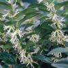 Sarcococca humilis - ombra - 36 - 18 - aucuba-helleborus-epimedium-hosta-mughetti-pachisandra