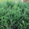 Sarcococca confusa - ombra - 36 - 18 - aucuba-helleborus-epimedium-hosta-mughetti-pachisandra