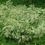 Cornus alba - mezzo-sole - 36 - 18 - cornus-a-ramo-colorato-arbusti-a-fioritura-estiva-e-primaverile-di-media-grandezza
