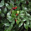 Sarcococca ruscifolia - ombra - 36 - 18 - aucuba-helleborus-epimedium-hosta-mughetti-pachisandra