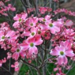 Cornus florida Rubra - mezzo-sole - 36 - mast - arbusti-di-media-grandezza-a-fioritura-estiva-arbusti-a-fioritura-estiva