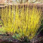 Cornus stolonifera Flaviramea - sole - 36 - 18 - cornus-a-ramo-colorato-arbusti-a-fioritura-estiva-e-primaverile-di-media-grandezza
