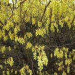 Corylopsis - mezzo-sole - 36 - 18 - arbusti-di-media-grandezza-a-fioritura-estiva-arbusti-a-fioritura-estiva