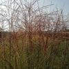Miscanthus sinensis Mornig Ligth - pieno-sole - 36 - 18 - achillea-aster-heliopsis-imperata-rubus-rudbeckia