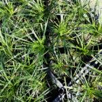 Convallaria japonica - ombra - 36 - 7 - narcisi-crocus-liriope-hoste-hellebori-epimedium