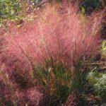 Muellebergia capillaris - pieno-sole - 36 - 18 - aster-nepeta-rudbeckia-sedum-thymus-perowskia