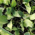 Convallaria majalis - mezzo-sole - 36 - 14 - aquilegia-felci-helleborus-pulmonaria-vinca-viola-odorata