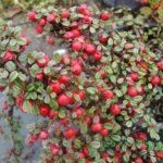 Cotoneaster   dammeri Queen of Carpet - sole - 36 - 15 - arbusti-sempreverdi-e-non-di-media-e-piccola-grandezza-perenni-dai-colori-tenui-e-dallo-sviluppo-veloce