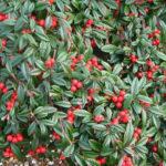 Cotoneaster salicifolia Repens - mezzo-sole - 36 - 9 - arbusti-sempreverdi-e-non-di-media-e-piccola-grandezza-perenni-dai-colori-tenui-e-dallo-sviluppo-veloce