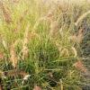 Pennisetum alopecuroides  Karl Rose - pieno-sole - 36 - 14 - amsonia-aster-echinacea-eupatorium-miscanthus-perowskia
