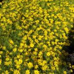Coreopsis verticillata - sole - 36 - 8 - aster-delphinium-gaillardia-gaura-phlox-pan-salvia-scabiosa
