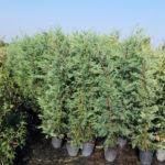 Cupressusocyparis leylandii - sole - 36 - 18 - piante-da-siepe-a-forma-libera-o-meglio-se-tenute-in-forma