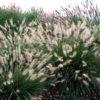 Pennisetum alopecuroides Halmen - pieno-sole - 36 - 14 - amsonia-aster-echinacea-eupatorium-miscanthus-perowskia