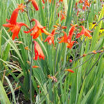 Crocosmia lucifer - sole - 36 - 14 - chrysanthemum-leuc-delphinium-helenium-phlox-pan-rudbeckia