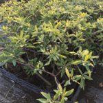 Edgeworthua chrysantha - sole - 36 - 24 - arbusti-da-fiore-estivi-o-primaverili-arusti-dallo-sviluppo-da-medio-a-lento