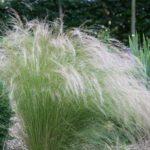 Stipa tenuissima Pony Taills - pieno-sole - 36 - 14 - aster-coreopsis-helianthemum-heliopsis-perowskia-salvia-leu-scabiosa-verbena-bon