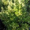 Euonimus Livornese - sole - 36 - 24 - arbusti-da-siepe-in-firma-libera-o-formale