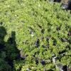 Gardenia radicans - mezzo-sole - 36 - 18 - arbusti-da-siepe-in-firma-libera-o-formale