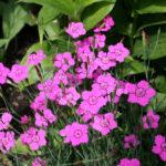 Dianthus deltoides rosso - sole - 36 - 14 - arabis-campanula-dryas-iberis-sedum-thymus-veronica