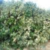 Hedera Elegantissima Varieagata - mezzo-sole - 36 - 18 - arbusti-da-siepe-in-firma-libera-o-formale