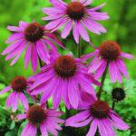 Echinacea purp.Prairy Splendor rosa - sole - 36 - 14 - graminacee-compatte-dianthus-timo-veronica-verbene-aster