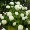 Hydarngea arborescens Annabelle - mezzo-sole - 36 - 24 - arbusti-a-fioritura-primaverile-ed-estiva-di-rapido-sviluppo-in-purezza-con-varietao-per-zone-miste-di-colore