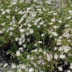 Erigeron karviskianicus - mezzo-sole - 36 - 14 - achillea-crysanthemum-leuc-coreopsis-delphinium-rudbeckia