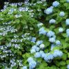 Hydarngea macrophylla Blue Bird - mezzo-sole - 36 - 24 - arbusti-a-fioritura-primaverile-ed-estiva-di-rapido-sviluppo-in-purezza-con-varietao-per-zone-miste-di-colore