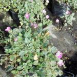 Erodium - sole - 36 - 14 - anaphalis-geum-thymus-veronica