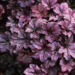 Heuchera sanguinea Palace Purple - mezzo-sole - 36 - 15 - alchemilla-anemone-campanula-felci-graminacee-primula-pulmonaria-saxifraga-viola