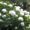 Hydarngea macrophylla Suor Theresa - mezzo-sole - 36 - 24 - arbusti-a-fioritura-primaverile-ed-estiva-di-rapido-sviluppo-in-purezza-con-varietao-per-zone-miste-di-colore