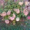 Hydarngea paniculata Grandiflora - mezzo-sole - 36 - 24 - arbusti-a-fioritura-primaverile-ed-estiva-di-rapido-sviluppo-in-purezza-con-varietao-per-zone-miste-di-colore