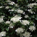 Hydarngea  Petiolaris - mezzo-sole - 36 - 18 - arbusti-a-fioritura-primaverile-ed-estiva-di-rapido-sviluppo-in-purezza-con-varietao-per-zone-miste-di-colore