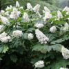 Hydarngea quercifolia Snow Queen - mezzo-sole - 36 - 24 - arbusti-a-fioritura-primaverile-ed-estiva-di-rapido-sviluppo-in-purezza-con-varietao-per-zone-miste-di-colore