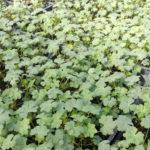 Geranium biokovo - mezzo-sole - 36 - 9 - campanula-var-nane-hypericum-lithospermum