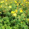 Hypericum moserianum - mezzo-sole - 36 - 14 - perennni-tappezzanti-a-rapido-sviluppo-a-portamento-prostrato